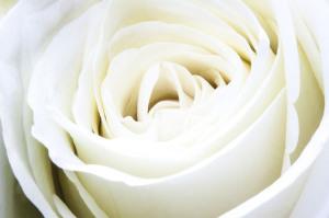 rose-313220_6401
